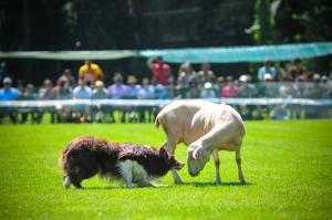 Concurs Gossos d'Atura a Prades 2016