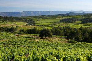 Una vinya de la DO Montsant.