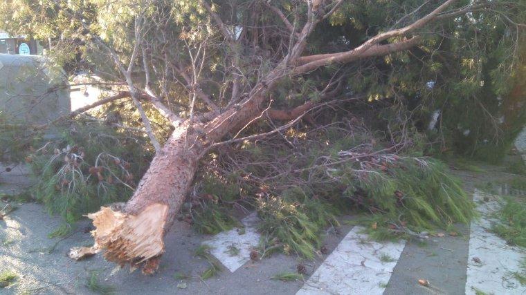 Imatge d'un arbre caigut el juny de 2017 a Cerdanyola