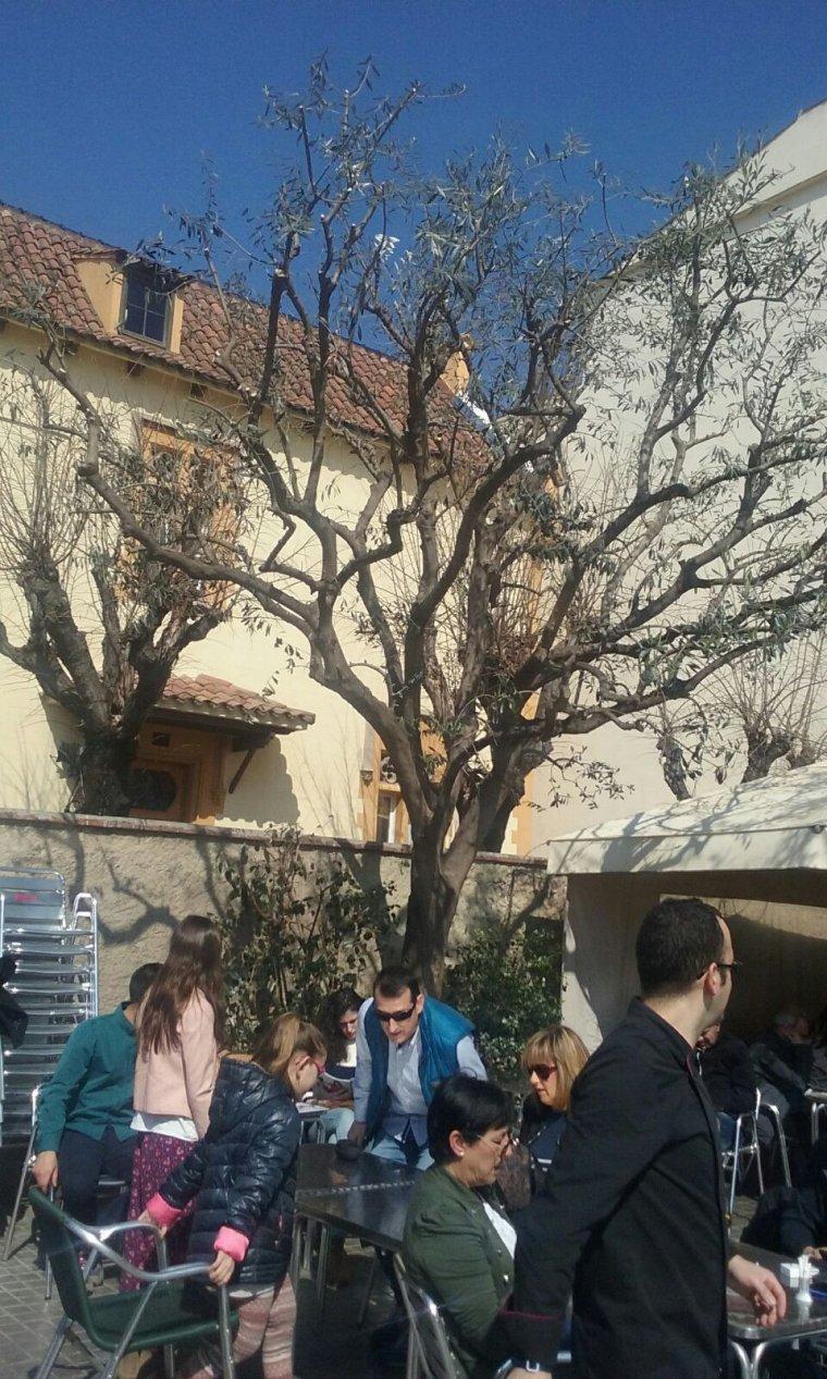 L'olivera de la plaça de l'Abat Oliba
