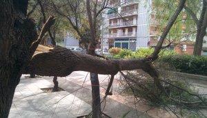 Arbre Caigut a la plaça del Doctor Moragues