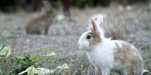 A tot Collserola es podran caçar 700 conills durant la temporada de caça
