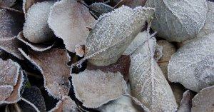 Fulles congelades