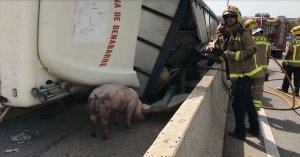 Bolca un camió que transportava porcs a la C-14, a Vila-seca