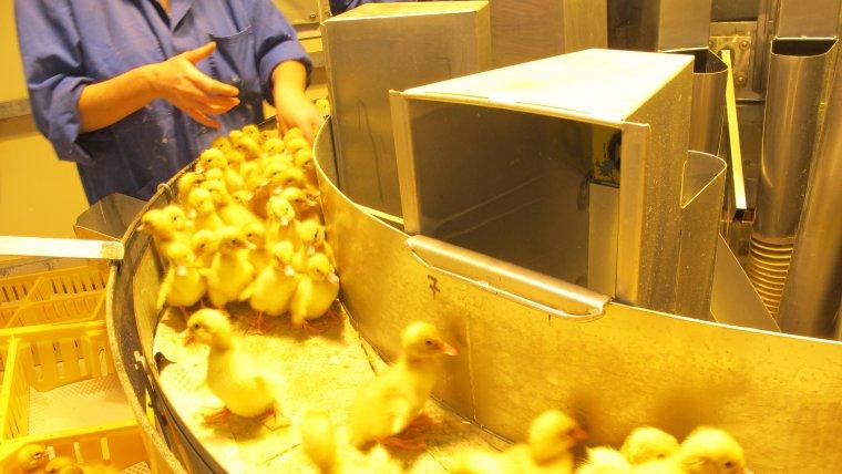 Sexador de pollos es uno de los empleos mejor remunerados.