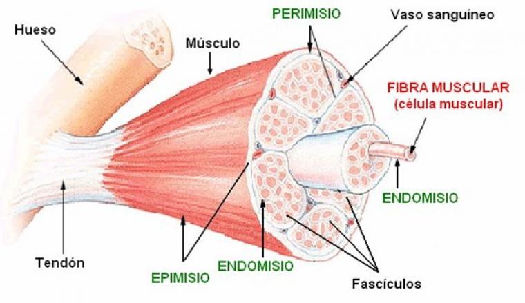 Músculo esquelético: qué es, tipos y funciones