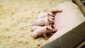 Los cerdos son el mejor ejemplo de animales omnívoros.