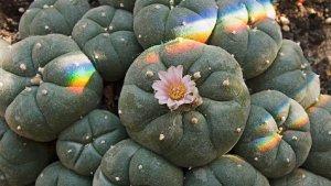 Peyote, una de las plantas alucinógenas más potentes del planeta.