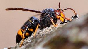 Los peligros de la avispa asiática, que ha causado varias muertes en España.
