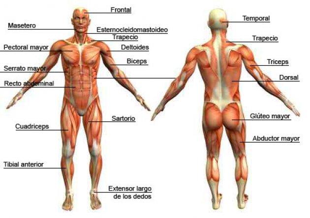 Músculos Del Cuerpo Humano Nombres Funciones Y Ubicación
