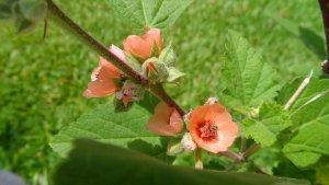 La planta malvavisco posee múltiples propiedades beneficiosas.