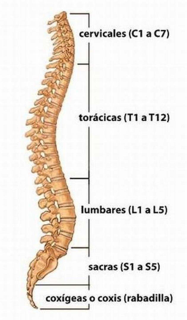 Imagen de las vertebras que tenemos en la columna.