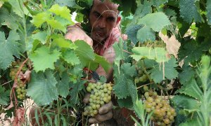 Un treballador veremant a una vinya.