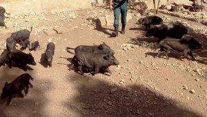 Han localitzat una trentena de porcs vietnamites.