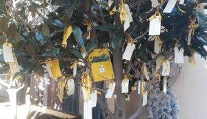 Llaços amb desitjos als arbres de la plaça Vella del Vendrell.