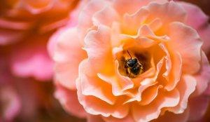 La miel de abeja proviene del néctar y de la savia
