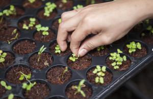 ¿Has oído hablar de las semillas CBD?