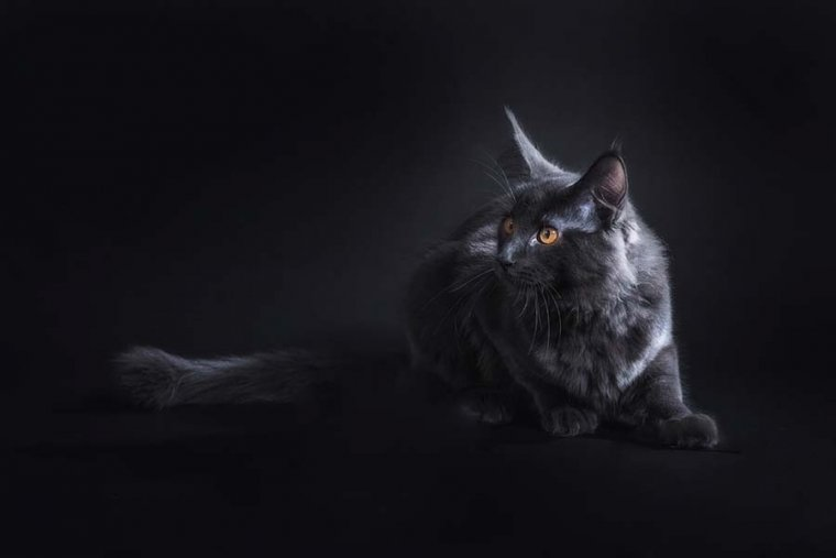 Cruzarte con un gato negro en superstición da mala suerte