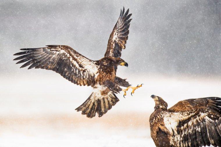 El águila es símbolo de poder y renacimiento, muy poderoso para muchas culturas