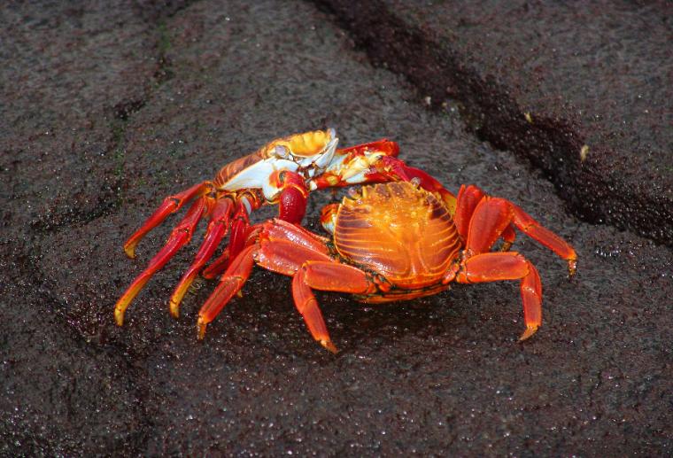 El cangrejo como símbolo de la resurrección y la habilidad para volver al pasado