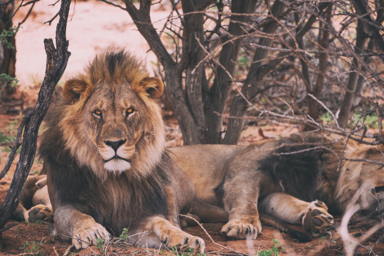 El león es símbolo de poder y fortaleza interior, y guía hacia el éxito