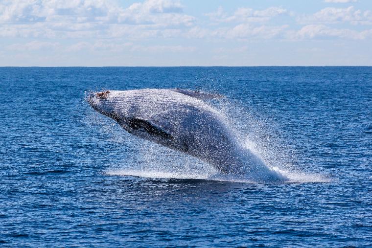 La ballena es otro de los animales de poder