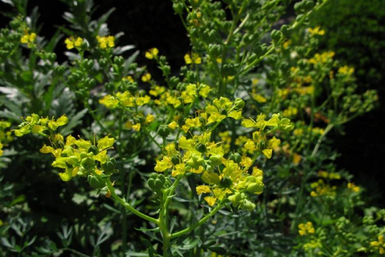 La ruda es una planta aromática con flores amarillas utilizada con fines mágicos