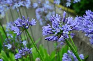 El Agapanto, la flor del amor