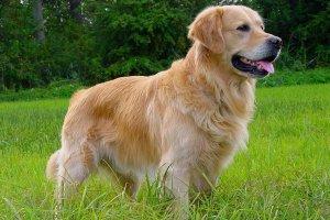 El Perro en el horóscopo chino es sinónimo de generosidad y lealtad