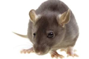 Los nacidos bajo el signo de la Rata son astutos, sociables y triunfadores