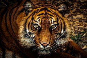 Los nacidos bajo el signo del Tigre son pasionales, aventureros y divertidos