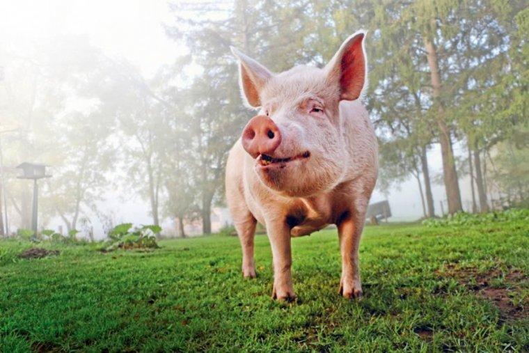 El signo del Cerdo en el horóscopo chino marca un carácter bondadoso y divertido