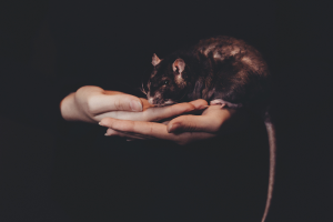Soñar con ratas es el anuncio de problemas en el hogar y el núcleo familiar
