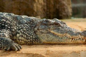 ¿Qué significa soñar con cocodrilos? Descubre sus mensajes en nuestro diccionario de sueños