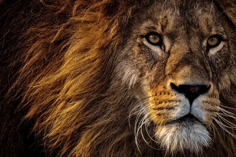 What Does It Mean to Dream about Lions? Discover Its Meaning in Our