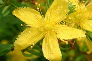 Aspecto de la hoja del Hypericum perforatum (hipérico) o hierba de San Juan