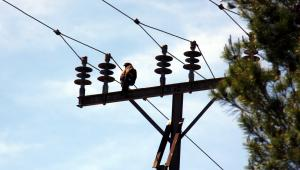 Imatge d'esquena de l'aligot de Harris localitzat a les Borges Blanques situat al damunt d'una torreta d'electricitat.
