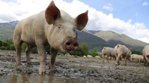 Els purins han contaminat els pous d'aigua potable de 139 municipis de Catalunya.
