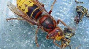 Imatge de la vespa asiàtica menjant-se exemplars autòctons