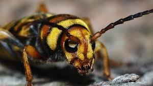 Fotografia de l'escarabat-vespa barrinador de les moreres