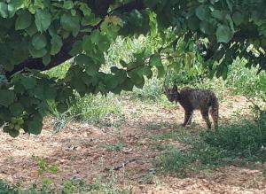 El linx ibèric vist pels Agents Rurals al Baix Llobregat.
