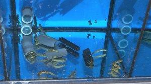 Els nous aquaris per a la reproducció del tritó del Montseny