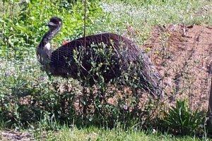 Imatge de l'emú vist avui per les comarques de Girona