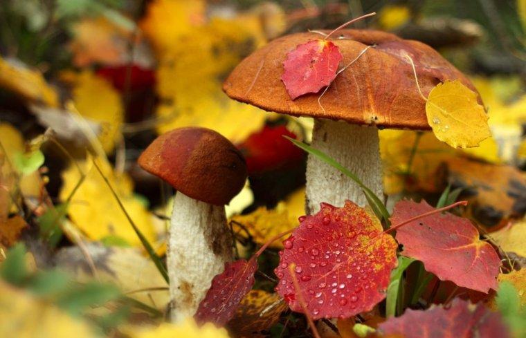 Els bolets són típics de la tardor però a vegades també en poden trobar a la primavera