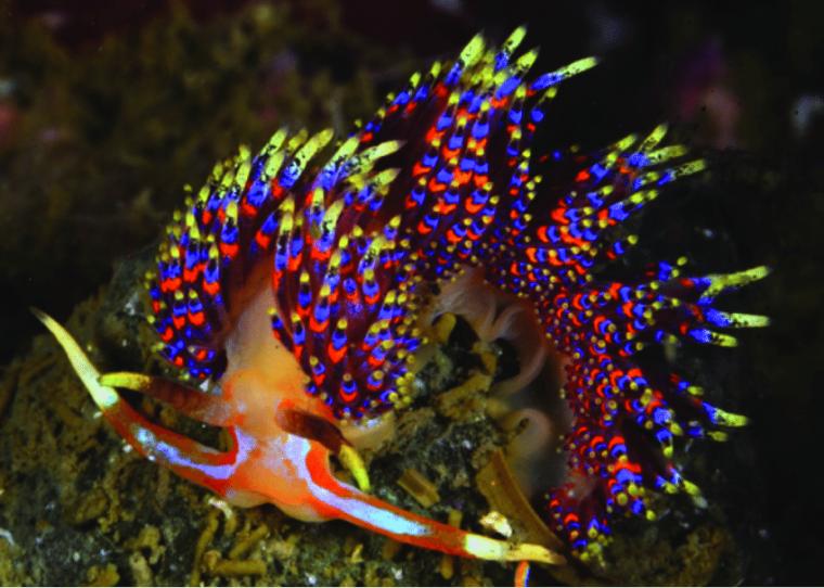 Imatge de la bavosa marina Godiva quadricolor