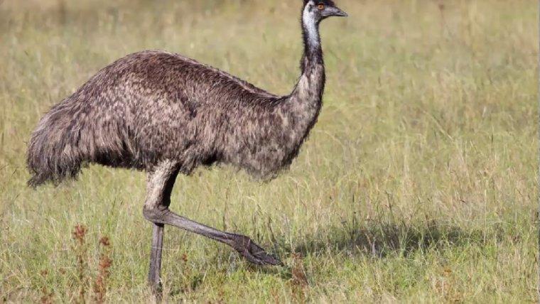 Imatge d'un exemplar d'emú comú