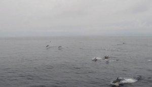El grupo de delfines avistado en las Rías Baixas