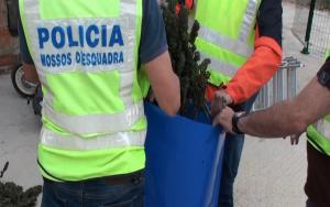 Durant els escorcolls els Mossos van trobar també diverses plantes de marihuana.