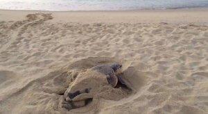 Imatge de la tortuga apareguda a Premià de Mar