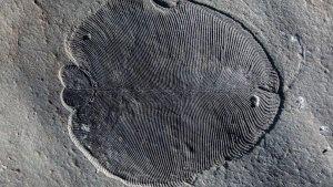 Un dels fòssils de 'Dickinsonia' trobats al Mar Blanc de Rússia